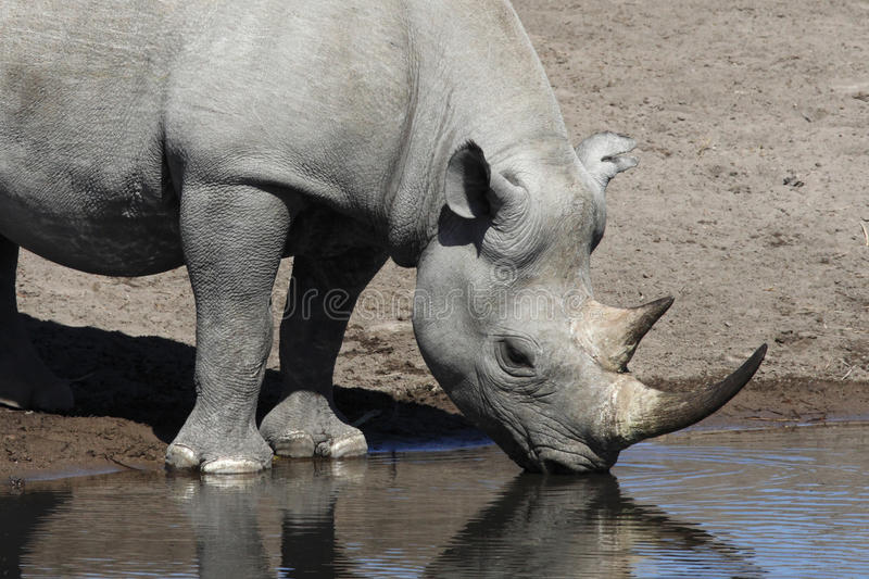 Black Rhinoceros - Namibia stock image
