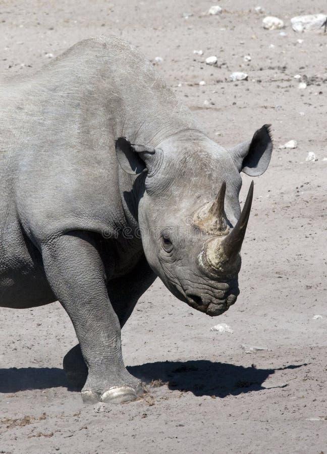 Download Black Rhinoceros - Namibia Royalty Free Stock Image - Image: 13938296