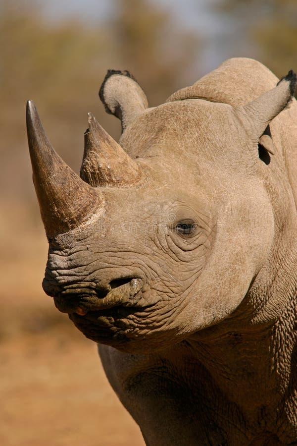 Black Rhinoceros, South Africa Stock Photo