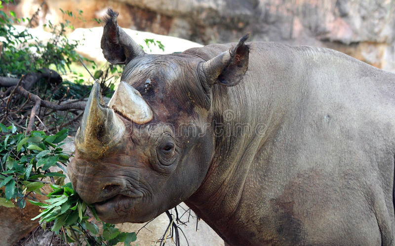 Black rhinoceros. The various postures of the black rhino royalty free stock photography