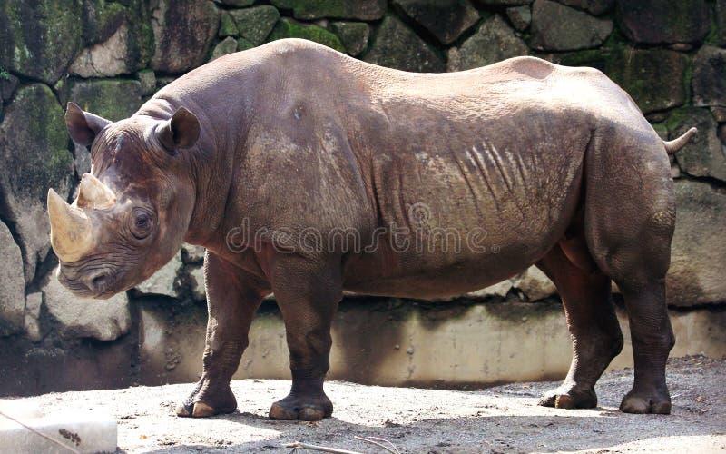 Black rhinoceros. The various postures of the black rhino stock photography