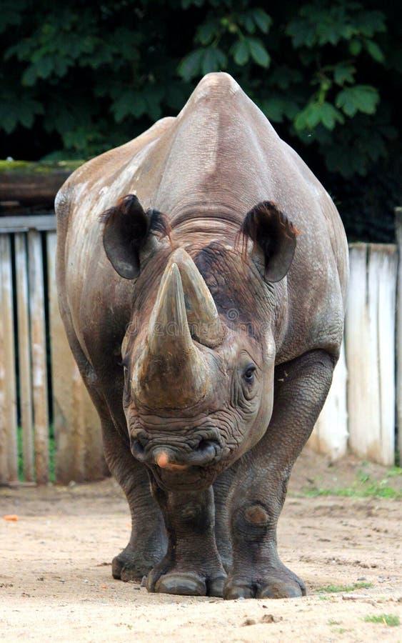 Black rhinoceros. The various postures of the black rhino stock photos