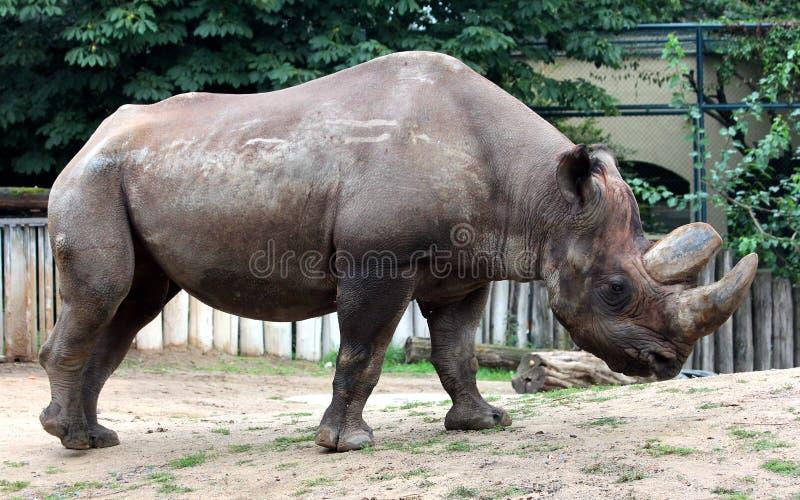 Black rhinoceros. The various postures of the black rhino stock image