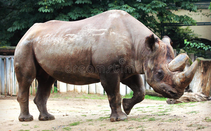 Black rhinoceros. The various postures of the black rhino royalty free stock photos
