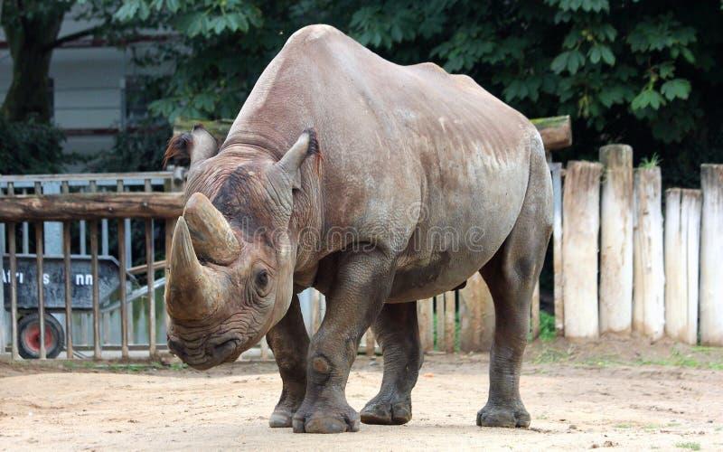 Black rhinoceros. The various postures of the black rhino stock photo