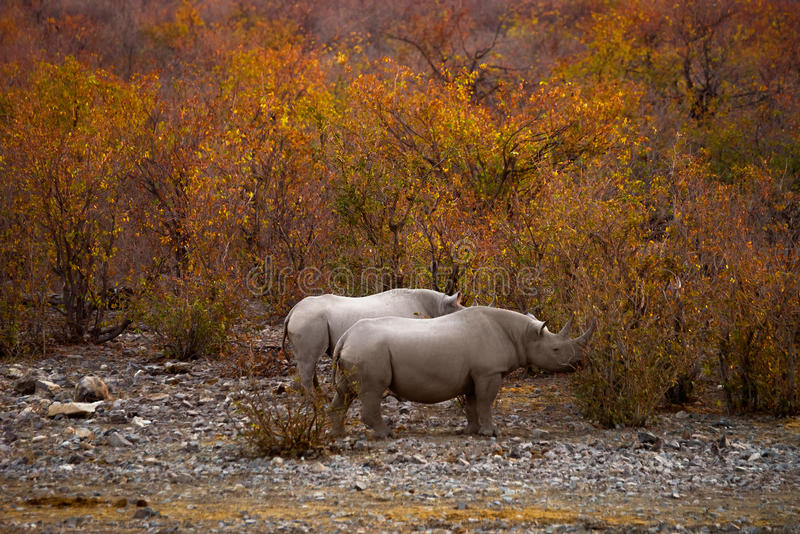 Black rhinos in the autumn bush at sunset stock photography