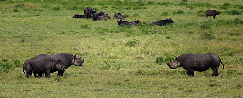 Black rhinos stock images