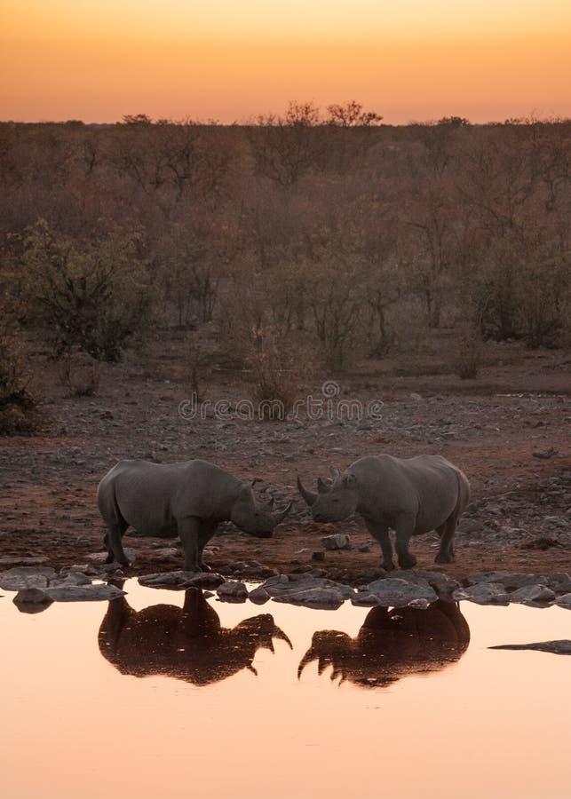 Black rhinos at the watering hole, Etosha National Park, Namibia stock photography