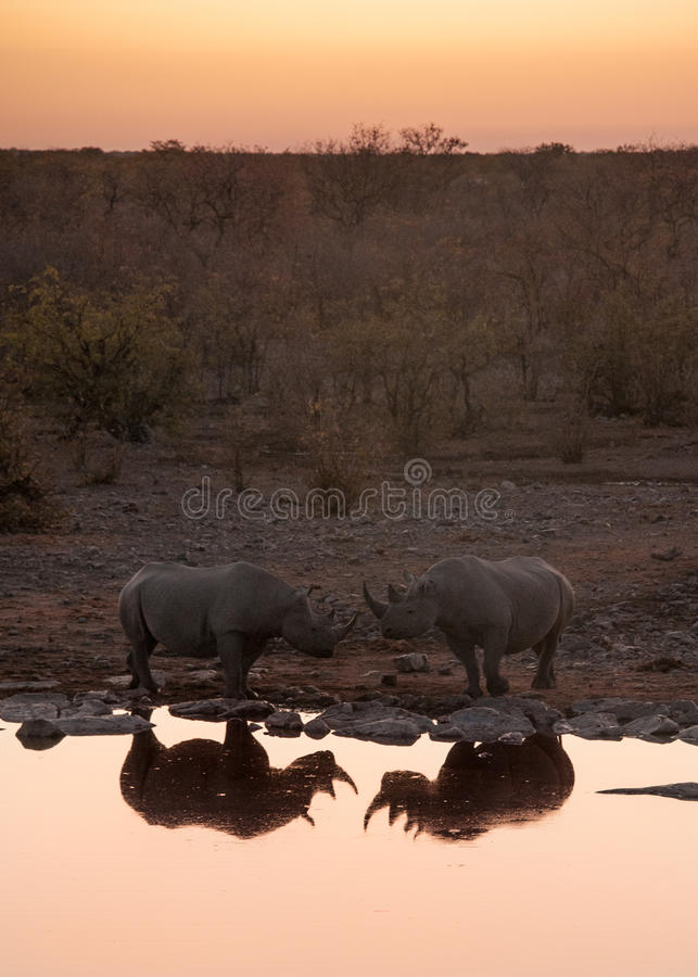 Black rhinos at watering hole, Etosha National Park, Namibia stock photography