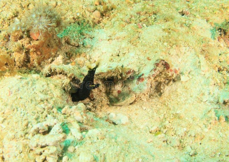 Black ribbon eel - juvenile stock photography