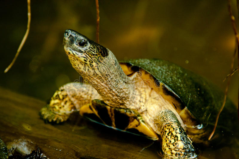 Download Black River Turtle stock photo. Image of pond, reptile - 28285132