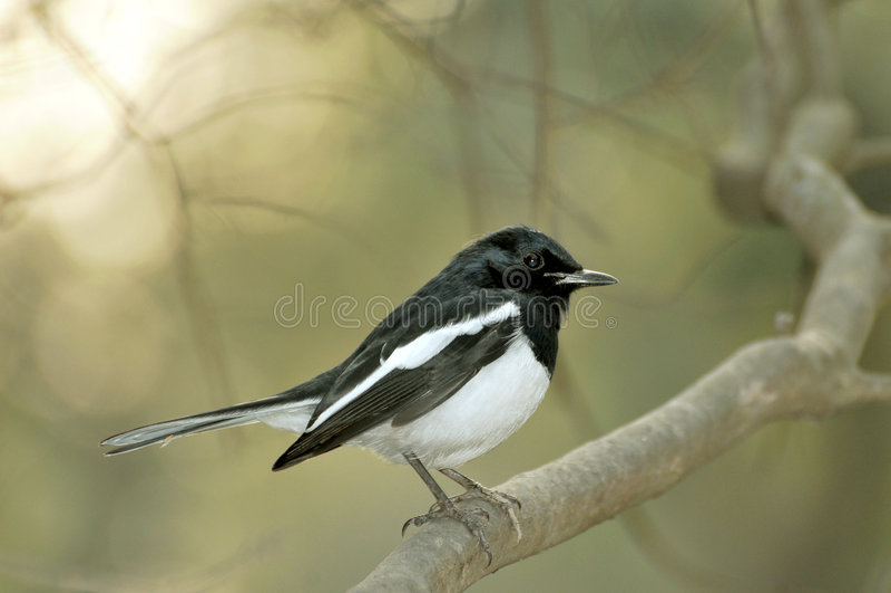 Black robin royalty free stock photos