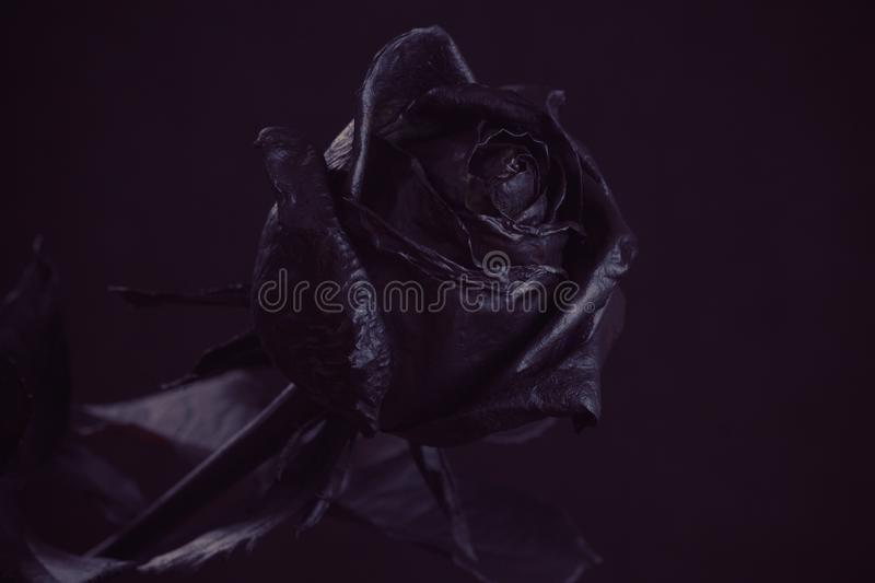 Black Rose. Concept, symbol of sorrow, melancholy and sad. Mood. Depression, farewell and love royalty free stock image