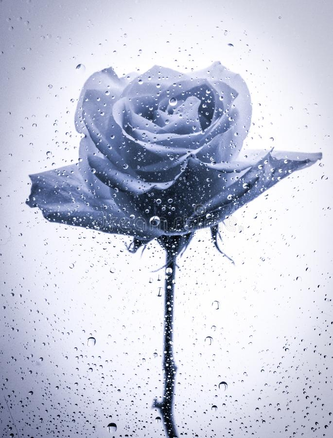 Free Black Rose On Stem With Water Droplets Stock Image - 110584511
