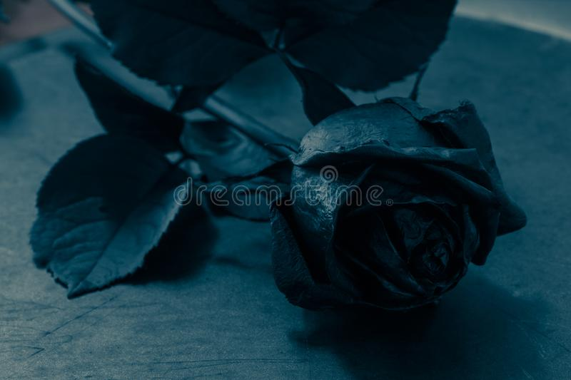 116 300 Black Rose Photos Free Royalty Free Stock Photos From Dreamstime
