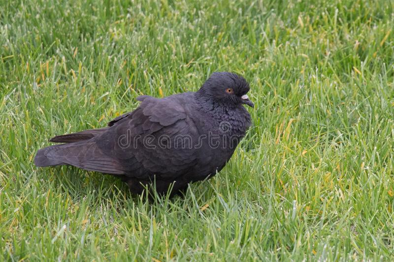 Black ruffling up pigeon on a green grass royalty free stock image