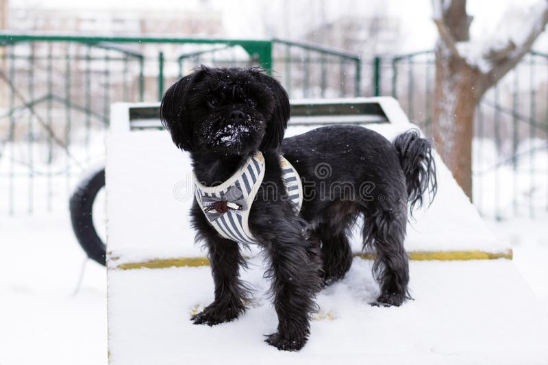 Black Russian colored lap dog phenotype on a training ground at wintertime stock photography