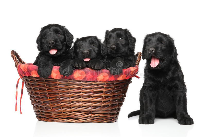 Black Russian terrier puppies royalty free stock photos