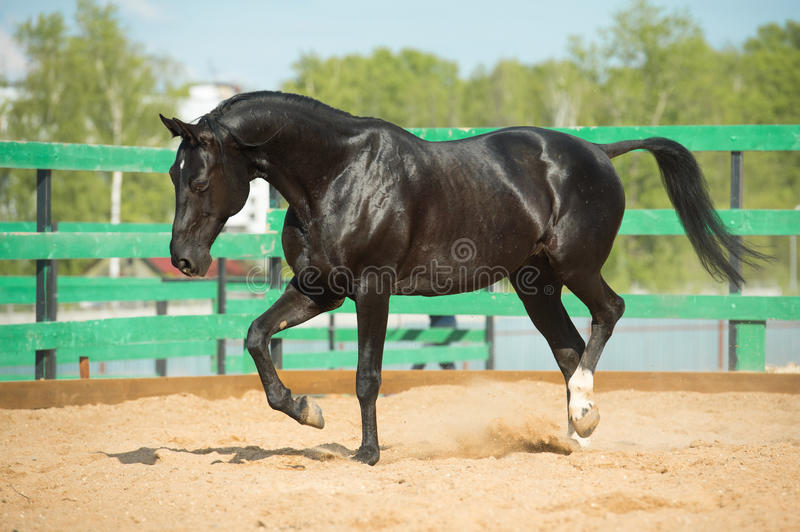 Black Russian trotter horse portrait in motion. In paddock stock image