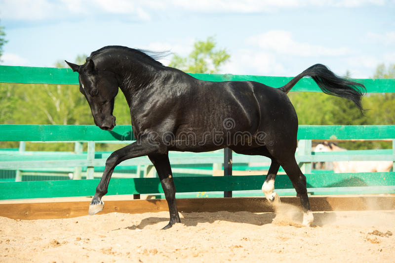 Black Russian trotter horse portrait in motion in paddock. Black Russian trotter horse portrait in motion royalty free stock images