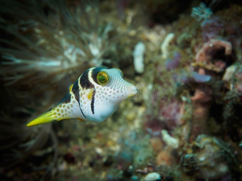 Black-Saddled Toby Puffer Fish royalty free stock photos