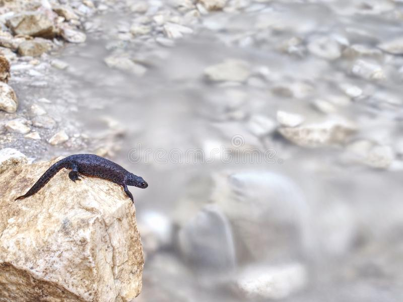Black salamander -  Amphibian lying on the stone. Above cold water of Alps stream wet walking tail system sweet stones slowness skin segregate rocks power royalty free stock photography