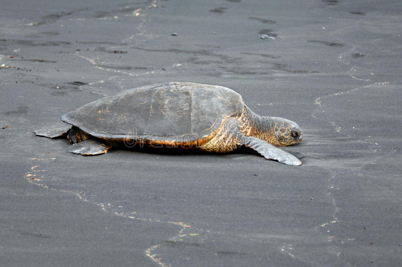 Black Sand Beach Turtle
