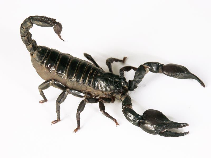 Black scorpion. Black scorpion on white background royalty free stock image