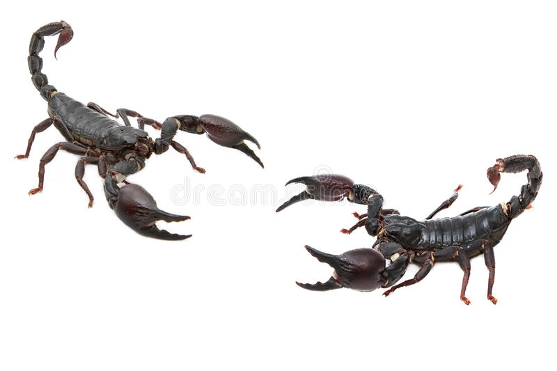 Black Scorpion in combat position. Isolate royalty free stock photo