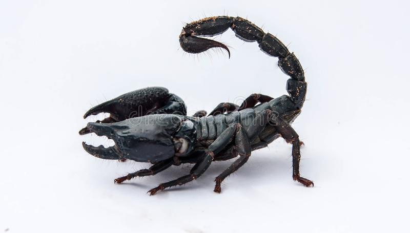 The black scorpion  on white background. royalty free stock photos