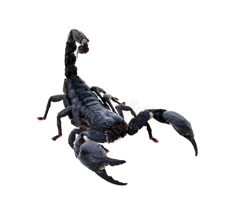 Black scorpion on white background, Poisonous animals stock photo