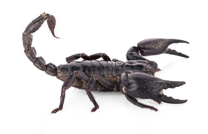 Black scorpion isolated on white background stock image
