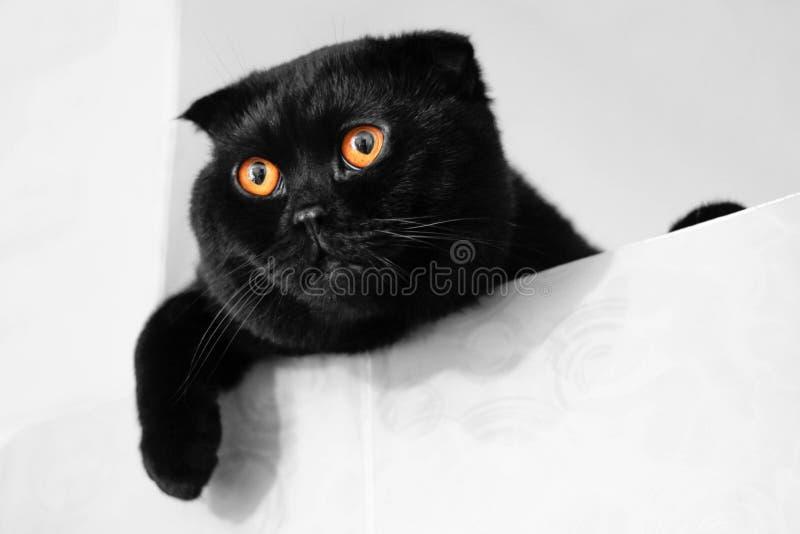 Black Scottish fold cat with Golden eyes. Close up.  royalty free stock image