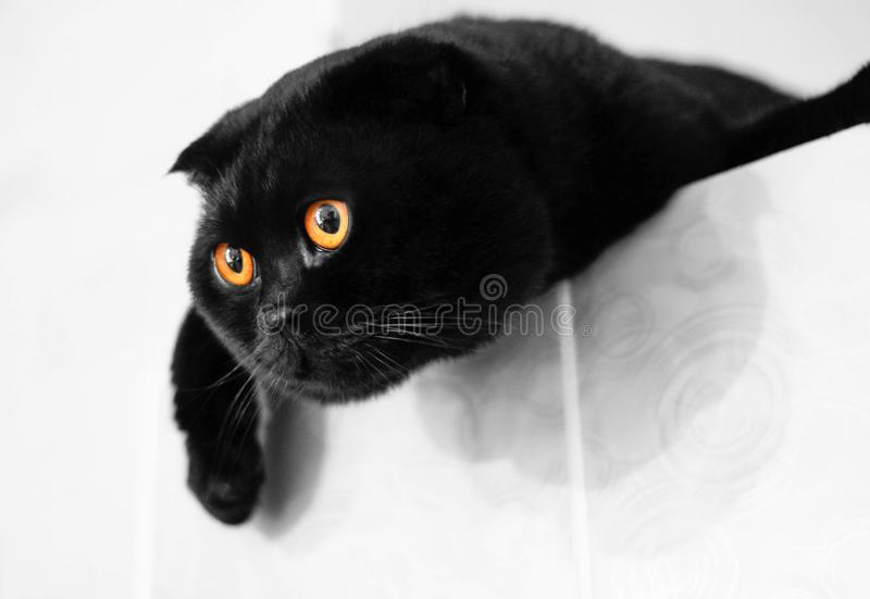 Black Scottish fold cat with Golden eyes. Close up.  stock photos