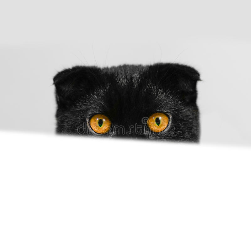 Black Scottish fold cat with yellow eyes peeping from behind. Of the white table. Cat peeking curiously around the white table. Close-up serious black Cat. Face royalty free stock photos