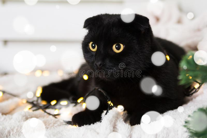 Cat Wearing Scottish Hat