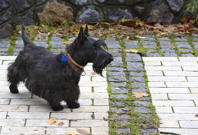 Black Scottish terrier walks the paved paths of the park. Black Scottish terrier walks the paved paths of autumn park royalty free stock photography