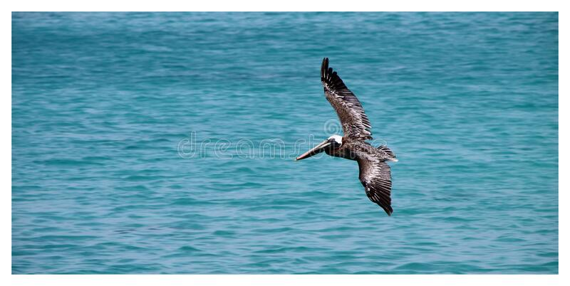 Black Sea Gulf Flying on Water Surface during Daytime royalty free stock images