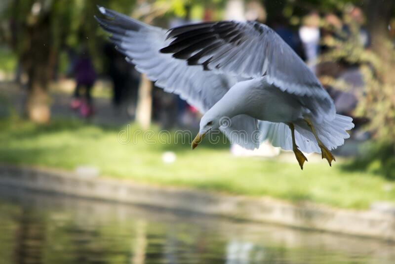 Black Sea gull adapted to city park life prepares to land on lake. royalty free stock images