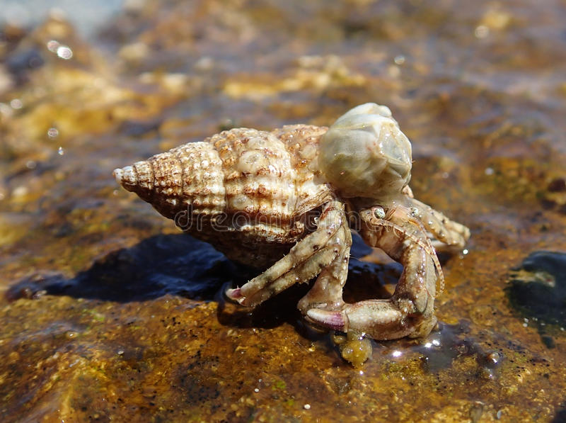 Black Sea hermit crab stock image