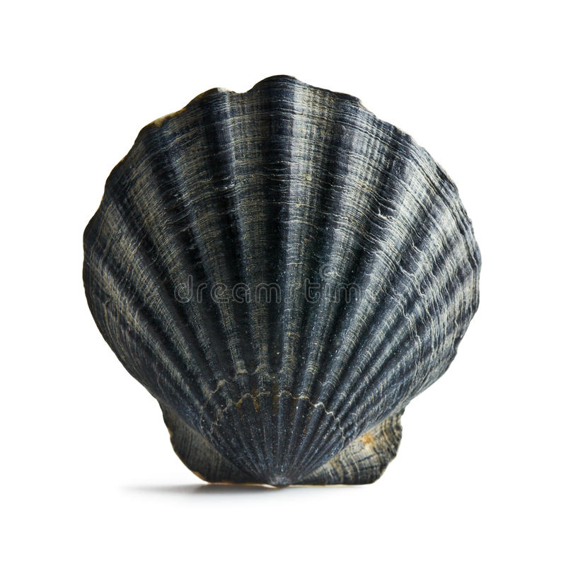Black sea shell. On white background royalty free stock photography