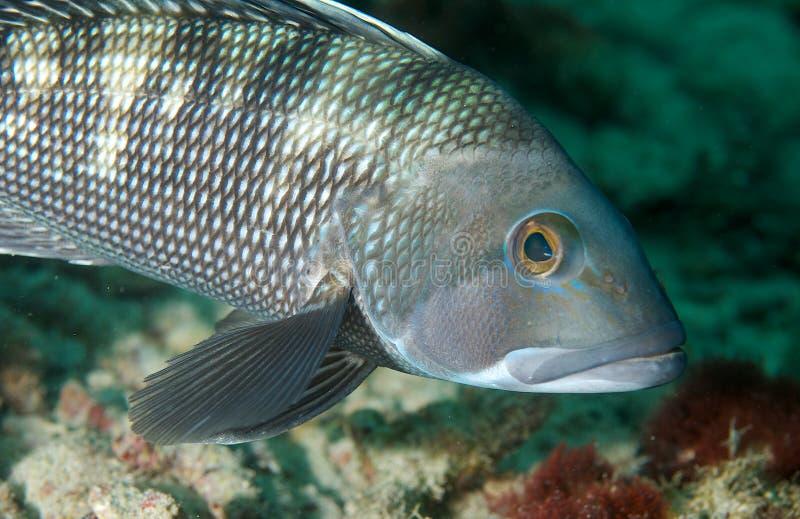 Black Seabass. Centropristis striata,picture taken in south east Florida stock photos