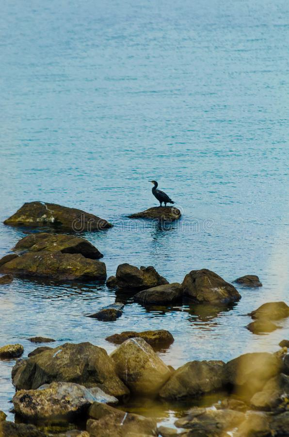 Black Seagull sitting on the rocks in the sea. Cormorant landing on cliff in summer sunny day. Bird looks at calm waters. Place stock photography