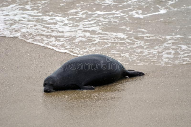 A black seal is lying lonely on the sand of California beach in USA. stock photo