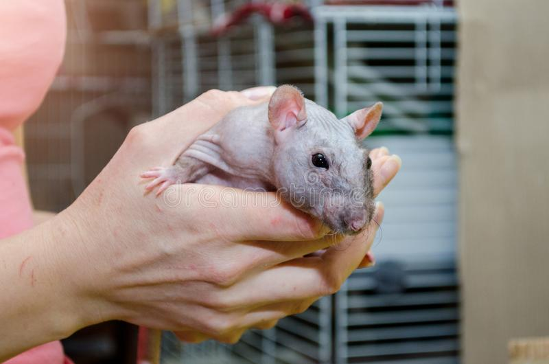 Black self fuzz standard rat, bald gray rat without fur sitting on woman hands near its cage, symbol of new year 2020. Black self fuzz standard rat, bald gray royalty free stock photos