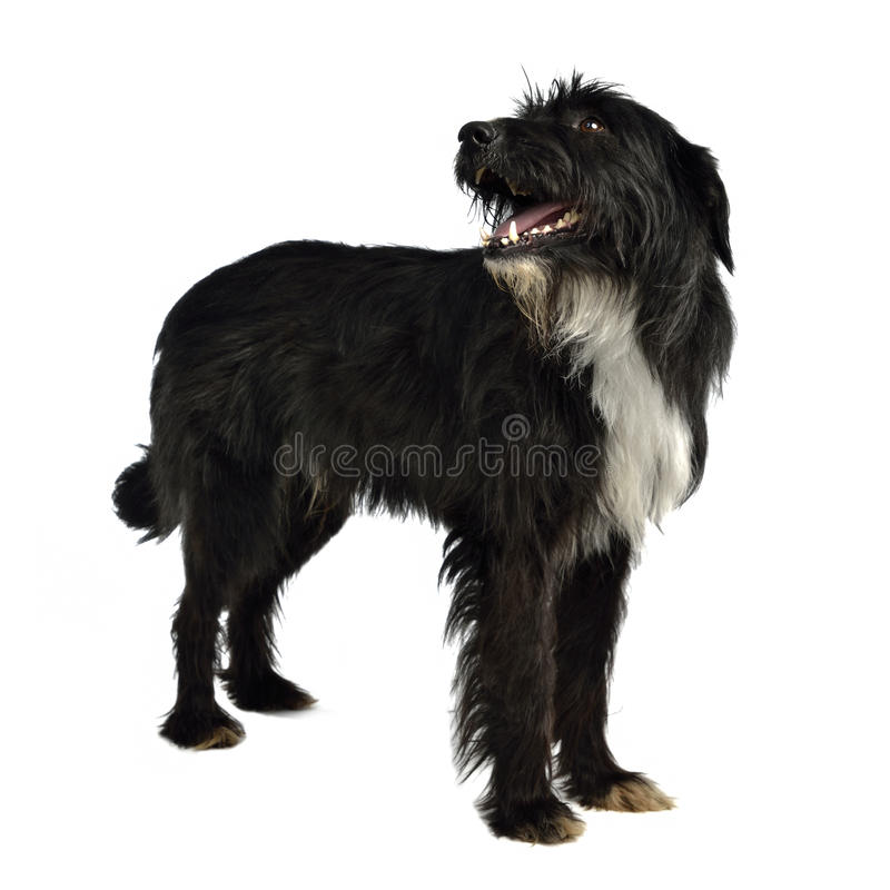 Black shaggy dog standing. Against white background royalty free stock photo