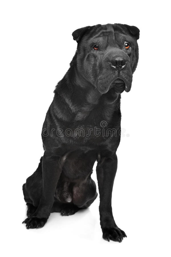 Black Shar-Pei Royalty Free Stock Photography