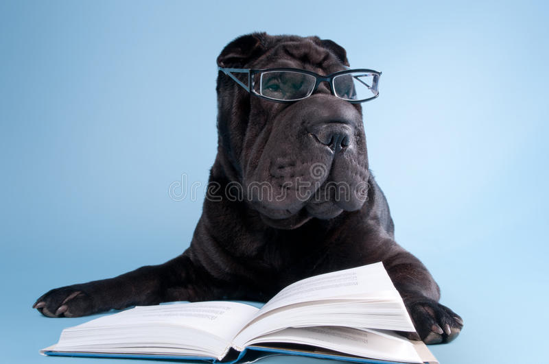 Black shar-pei dog with glasses reading book stock photography