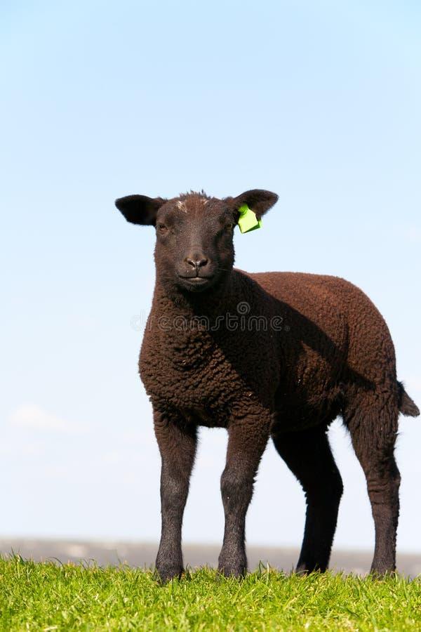 Download Black Sheep Royalty Free Stock Photography - Image: 19632557