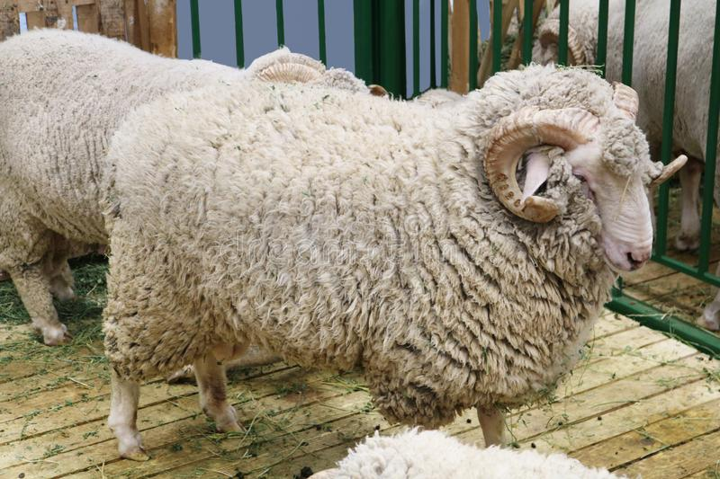 Black sheep domestic merino sheep. — a hoofed mammal with thick hair and edible meat royalty free stock image